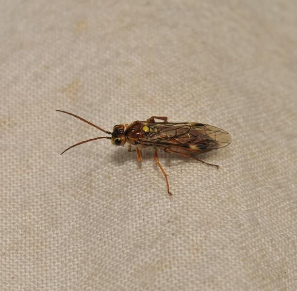 Sawfly, May