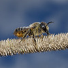 Megachile sp, September