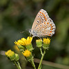 Common Blue female, August