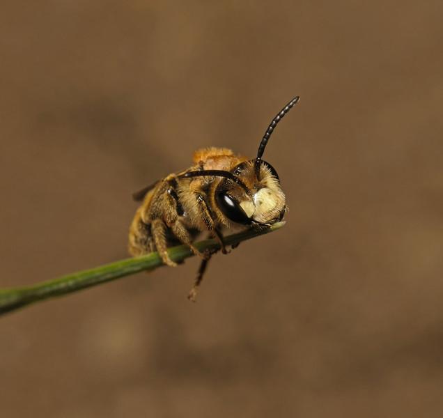 Andrena labialis(?), May
