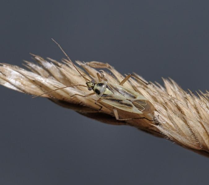 Stenotus binotatus male, August