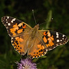 Painted Lady, July