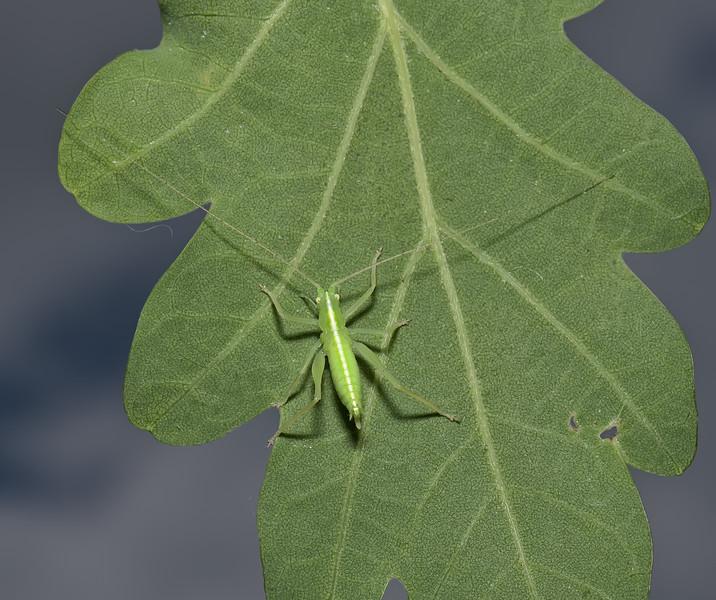 Meconema thalassinum nymph, June