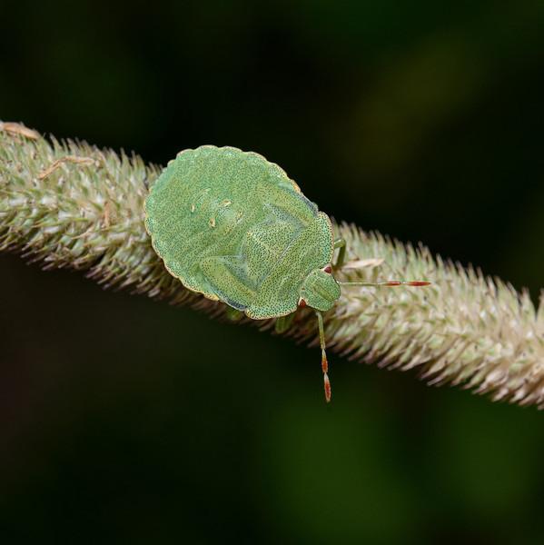Green Shieldbug - Palomena prasina final instar nymph, August