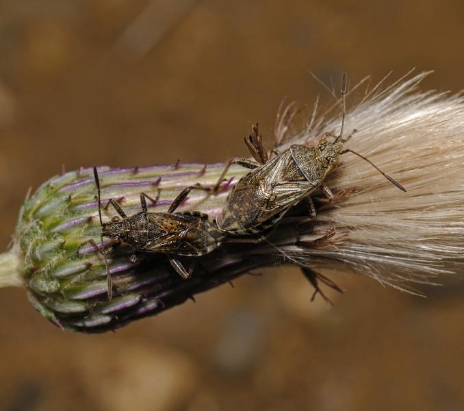 Stictopleurus punctatonervosus pair, August