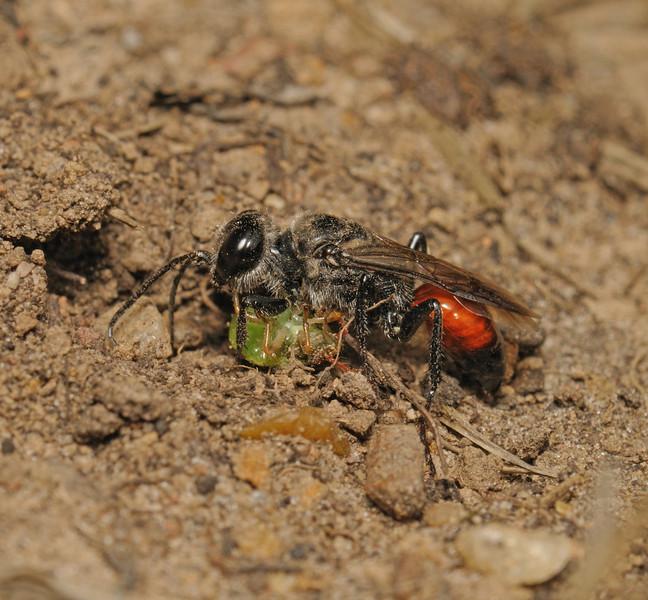 Astata boops with Shieldbug prey, July