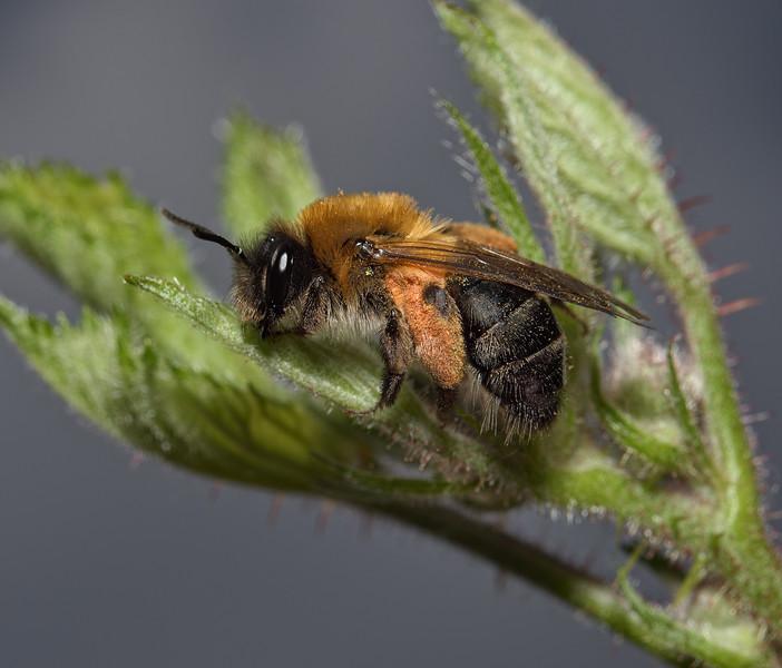 Andrena nitida, female, April