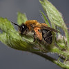 Andrena nitida, female, April