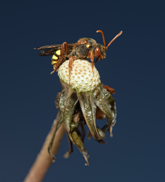 Nomada lathburiana, May
