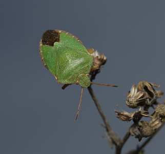 Green Shieldbug - Palomena prasina, October