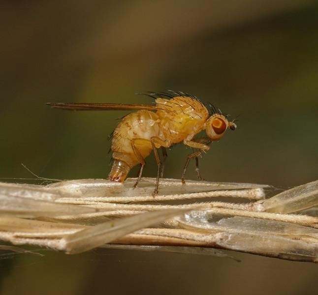 Lauxaniid fly, September