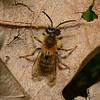Andrena sp. April