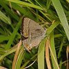 Purple Hairstreak, June