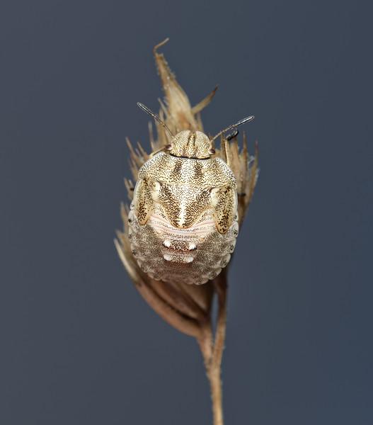 Tortoise Shieldbug - Eurygaster testudinaria nymph, July