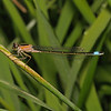 Female Blue-tailed Damselfly - Ischnura elegans rufescens, June