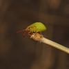 Hawthorn Shieldbug - Acanthosoma haemorrhoidale nymph, August