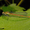 Female Large Red Damselfly - Pyrrhosoma nymphula, April