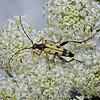 Leptura maculata, June