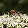 Andrena haemorrhoa female, June