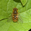 Parhelophilus versicolor, June