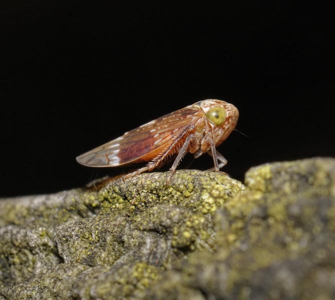 Idiocerus sp, September