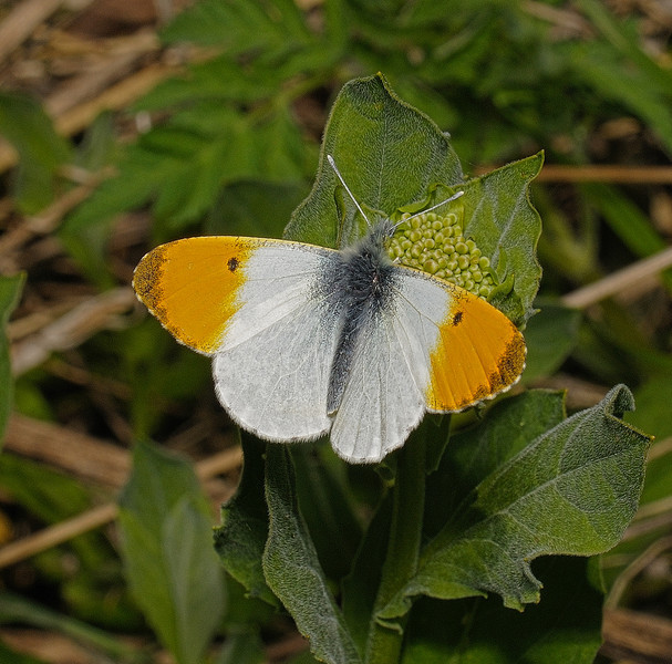 Orange Tip male, April