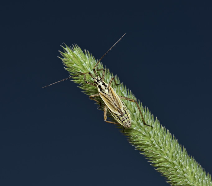 Leptopterna dolabrata nymph, June