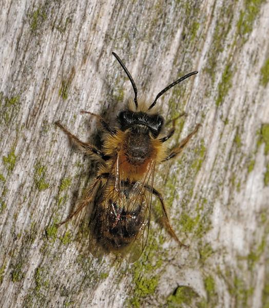 Andrena clarkella male, April