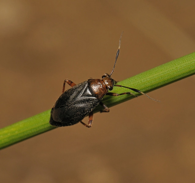 Capsus ater, June