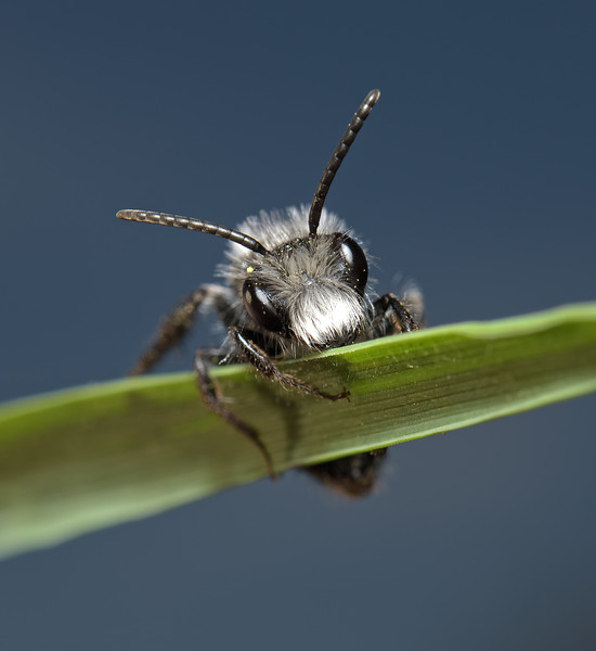 Andrena cineraria, April