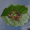 Parent Bug - Elasmucha grisea, September