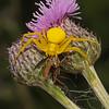 Misumena vatia with prey, June