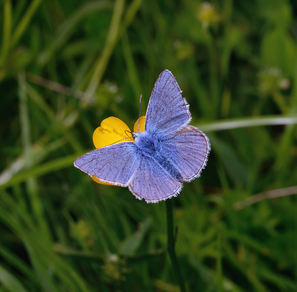Common Blue male, June