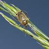 Harpocera thoracica female, May