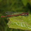 Male Large Red Damselfly - Pyrrhosoma nymphula, May