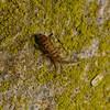 Entomobrya sp, March