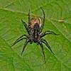 Pardosa amentata, July