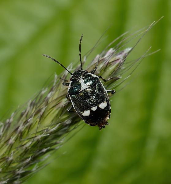 Crucifer Shieldbug - Eurydema oleracea, May