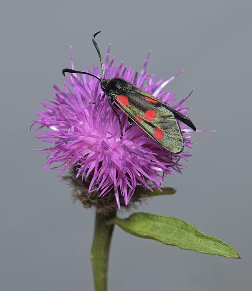 Narrow-bordered Five-spot Burnet, June