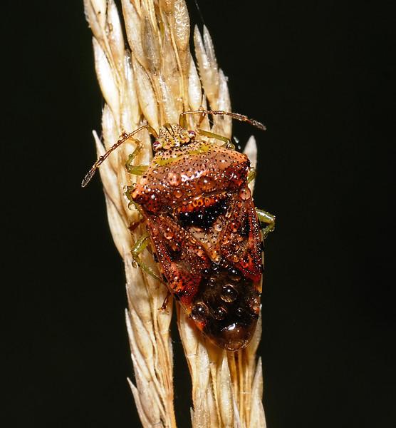 Parent Bug - Elasmucha grisea, October