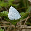 Holly Blue, April