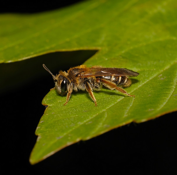 Andrena ovatula, April