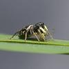 Heliophanus cupreus, June
