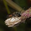Lasioglossum calceatum, August