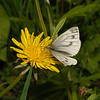 Green-veined White, April