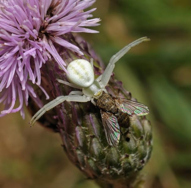 Misumena vatia with prey, July