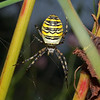Argiope bruennichi female, August