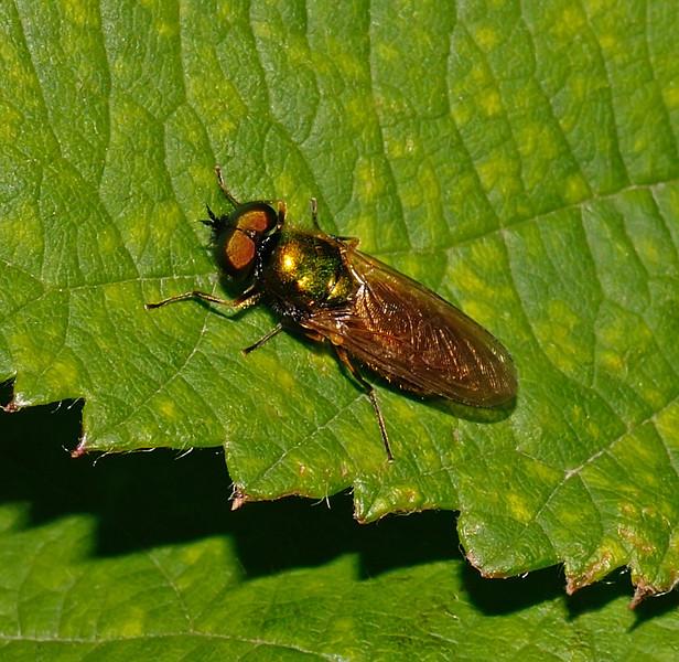 Chloromyia formosa, June