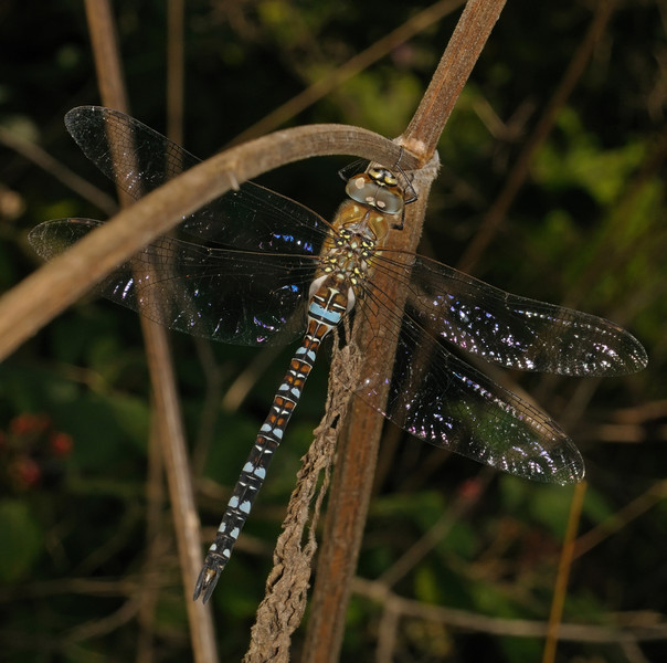 Male Migrant Hawker - Aeshna mixta, August