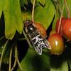 Scaeva pyrastri male, August